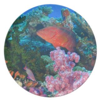 schooling Fairy Basslets  (Pseudanthias Plate