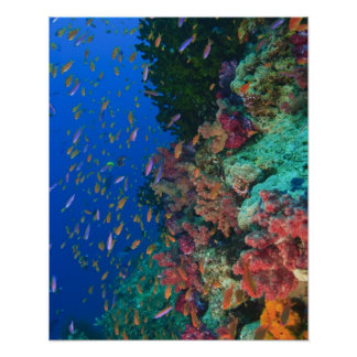 Schooling Fairy Basslets (Pseudanthias Poster