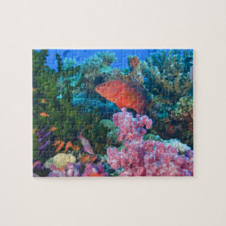 schooling Fairy Basslets  (Pseudanthias Puzzle
