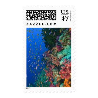 Schooling Fairy Basslets (Pseudanthias Stamp