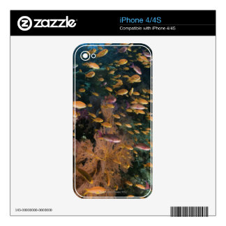 Schooling Fairy Basslets Skin For The iPhone 4