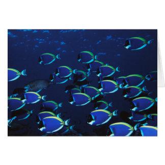 Schooling Powder Blue Surgeonfish Card