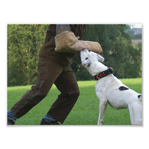 Schutzhund American Bulldog Photo