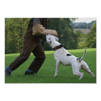 Schutzhund American Bulldog Poster