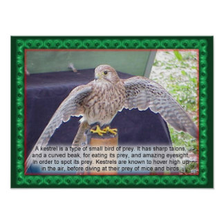 Science, Animals, Birds, Kestrel Poster