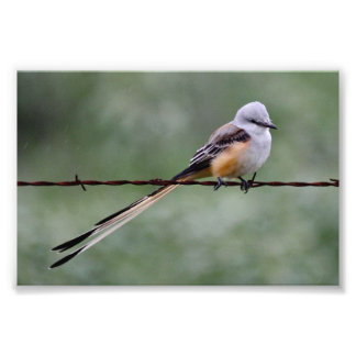 Scissor-tailed Flycatcher perched on barbed wire Photo Print