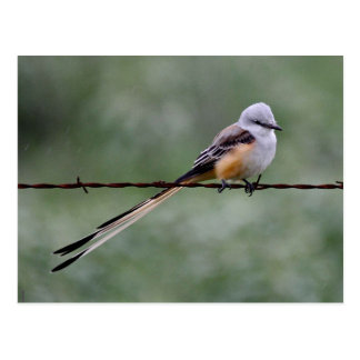 Scissor-tailed Flycatcher perched on barbed wire Postcard
