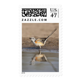Scissor-tailed Flycatcher reflected in pond Postage
