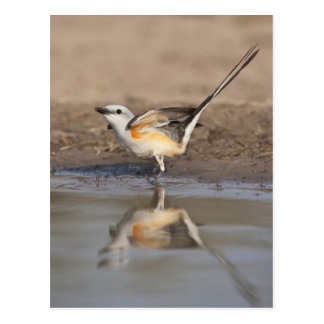 Scissor-tailed Flycatcher reflected in pond Postcard