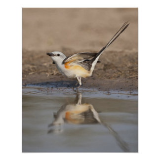 Scissor-tailed Flycatcher reflected in pond Poster