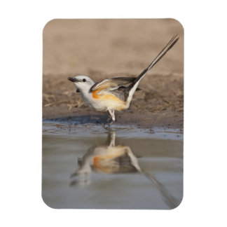 Scissor-tailed Flycatcher reflected in pond Magnet