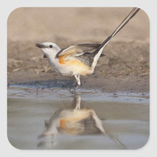 Scissor-tailed Flycatcher reflected in pond Square Sticker