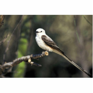 Scissor-tailed Flycatcher Standing Photo Sculpture