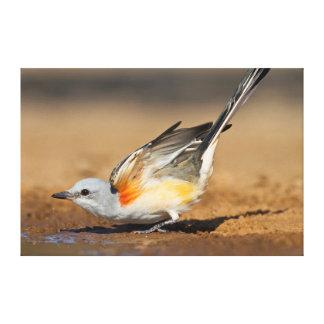 Scissor-Tailed Flycatcher (Tyrannus Forficatus) Canvas Print