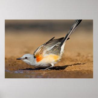 Scissor-Tailed Flycatcher (Tyrannus Forficatus) Poster