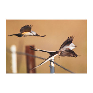 Scissor-Tailed Flycatchers (Tyrannus Forficatus) Canvas Print