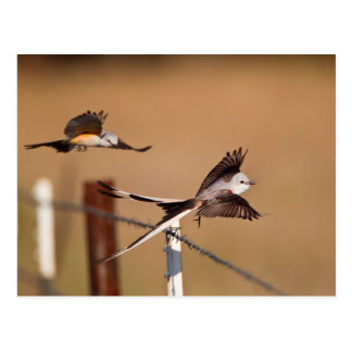 Scissor-Tailed Flycatchers (Tyrannus Forficatus) Postcard