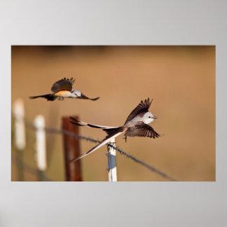 Scissor-Tailed Flycatchers (Tyrannus Forficatus) Poster