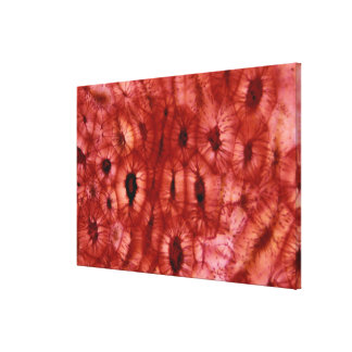 Sclerenchyma Cells from a Cherry Pit Gallery Wrap Canvas