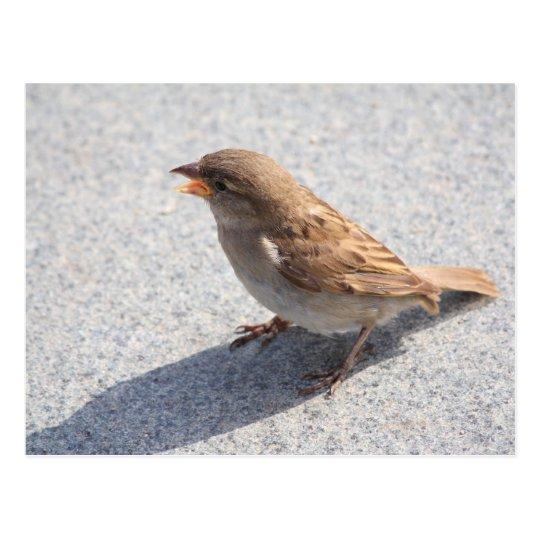 scolding sparrow postcard