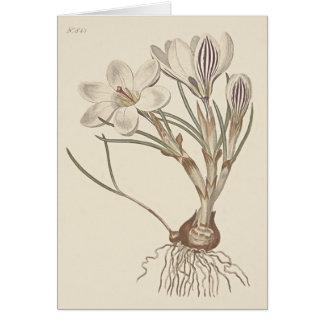 Scotch Crocus Botanical Illustration Card