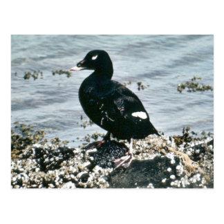 Scoter Ducks Postcard