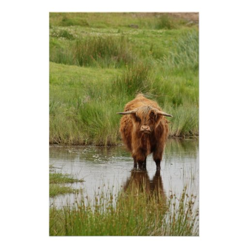 Scotland: A Highland Cow in Water Posters