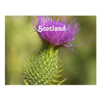 Scotland Thistle Postcard