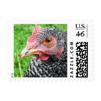 Scots Grey Hen - Rare Chicken Breeds - Small Postage Stamp