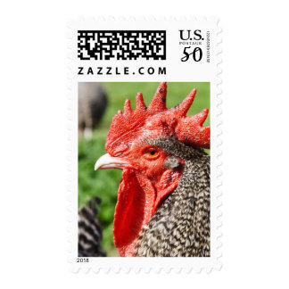 Scots Grey Rooster | Chicken Postage