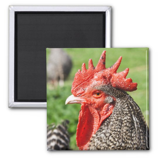 Scots Grey Rooster Photography Magnet