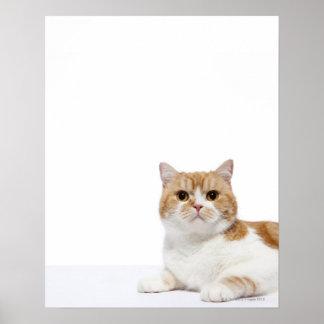 Scottish Fold Cat Poster