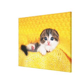 Scottish Fold; is a breed of cat with a natural Canvas Print