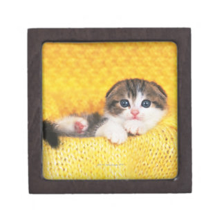 Scottish Fold; is a breed of cat with a natural Gift Box