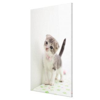 Scottish Fold Kitten Canvas Print