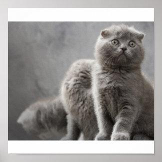 Scottish Fold kittens Poster