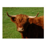Scottish Highland Cattle Postcard