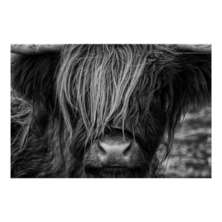 Scottish Highland Cow, Highlander, Highland Cattle Poster