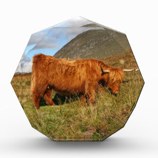 Scottish Highland Cows - Scotland Award
