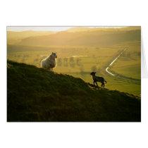 Scottish Sheep And Lamb
