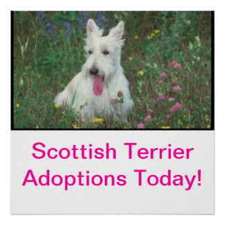 Scottish Terrier Adoption Poster