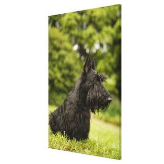 Scottish Terrier Canvas Print