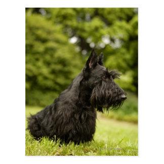 Scottish Terrier Post Cards