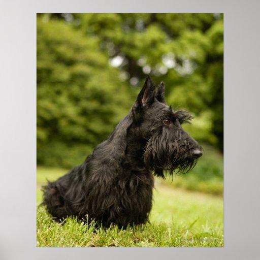 Scottish Terrier Poster