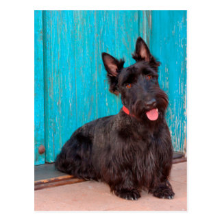 Scottish Terrier sitting by colorful doorway Postcard