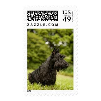 Scottish Terrier Stamp