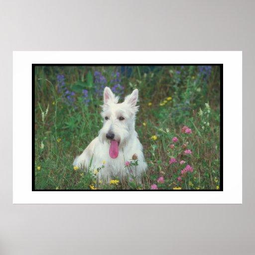 Scottish Terrier Wheaten Poster