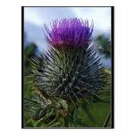 Scottish Thistle Fine Art Photography Post Cards