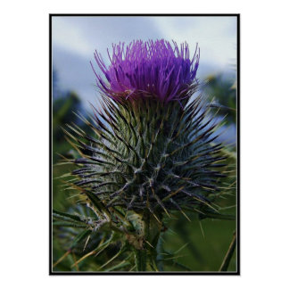 Scottish Thistle Fine Art Photography Poster