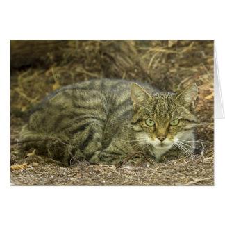 Scottish Wild Cat Card